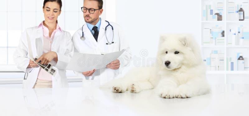 Persiga o conselho veterinário dos veterinários do exame os exames e o PR fotografia de stock
