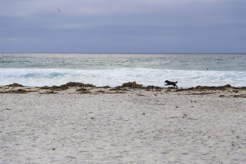 Persiga o corredor na praia no bosque de Monterey, Califórnia, E.U. fotos de stock