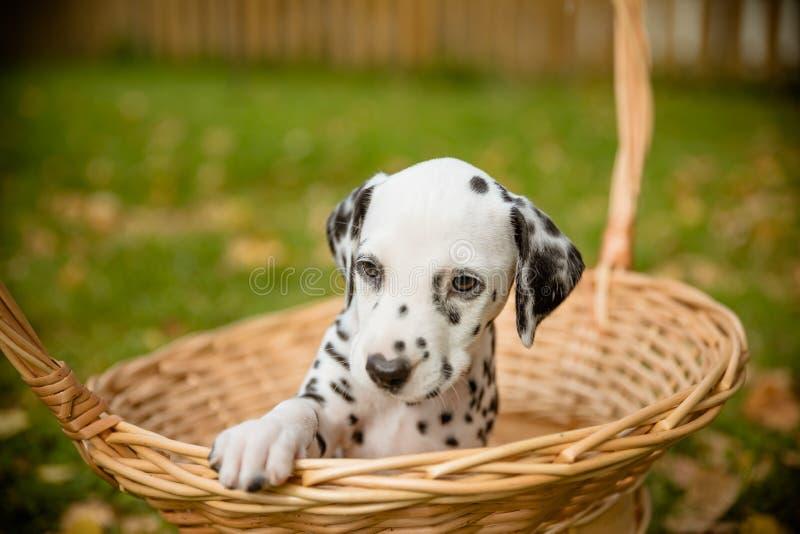 Persiga o Dalmatian da raça, cachorrinho pequeno bonito em uma cesta fora Por do sol no parque Cão que anda no jardim Tempo ensol imagens de stock