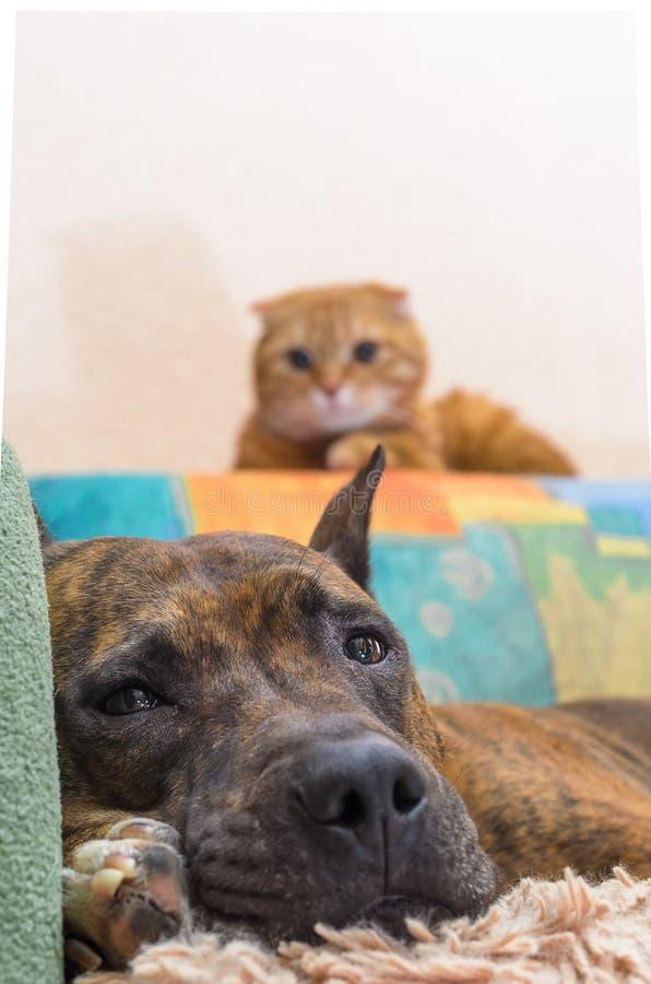 persiga o encontro no sofá sob a supervisão de um gato vermelho imagens de stock royalty free