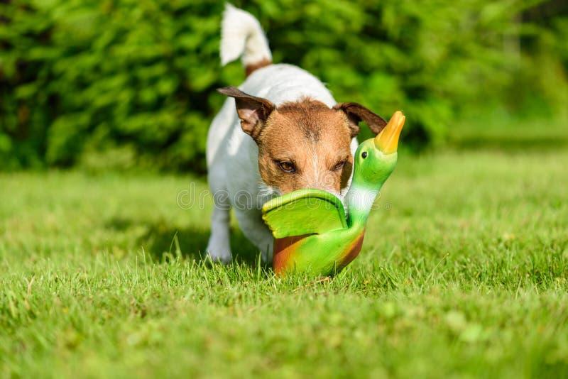 Persiga o treinamento para buscar o jogo com o pato do brinquedo no gramado do quintal imagens de stock royalty free