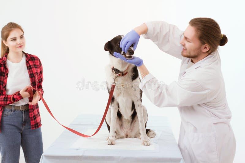 Persiga a obtenção verificado na clínica do veterinário com o proprietário do thir imagens de stock royalty free