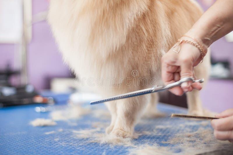 Persiga os cães mestres da preparação das mulheres do corte de cabelo de Pomeranian em um salão de beleza fotos de stock royalty free