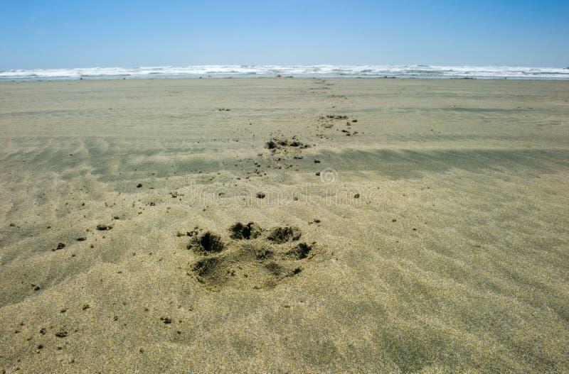 Persiga pawprints do ` s na areia, Rim National Park pacífico, Columbia Britânica, Canadá imagem de stock royalty free