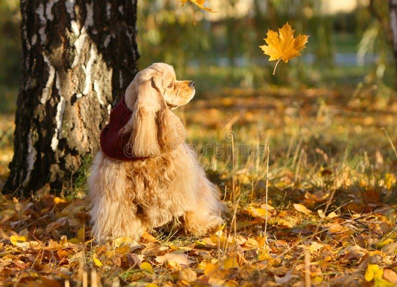 Persiga sentarse en las hojas amarillas cerca de un árbol fotos de archivo libres de regalías