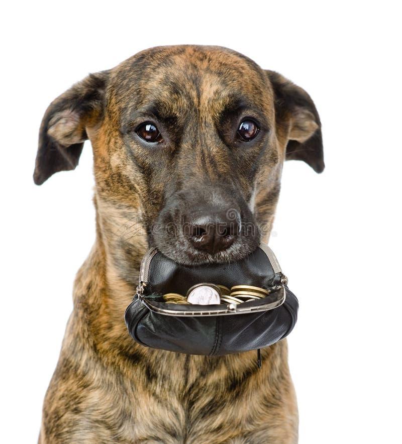 Persiga sostener un monedero con las monedas en su boca Aislado en blanco imágenes de archivo libres de regalías