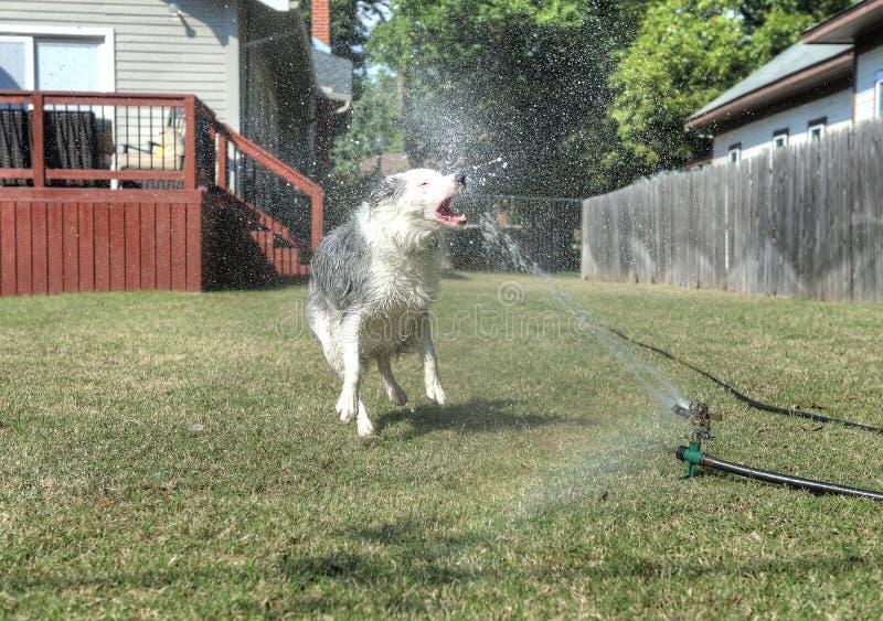 Persiga ter água cortante do divertimento no quintal fotos de stock