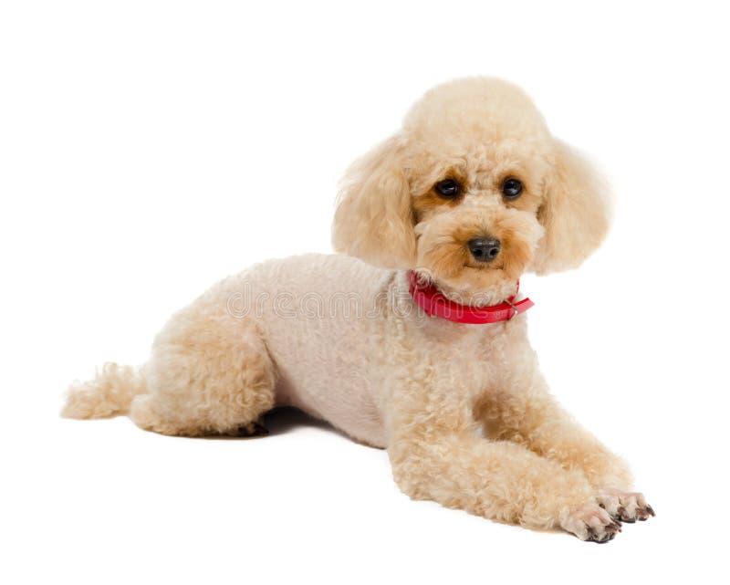 Persiga a Toy Poodle que se sienta en un fondo blanco con foto de archivo