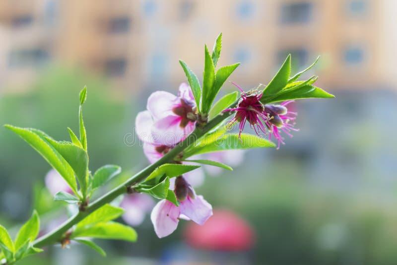 Persikablomma som blommar i trädgården, closeup av fotoet royaltyfri bild