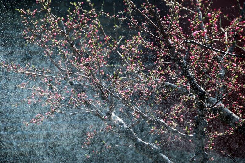 Persikablommaknoppar i regn royaltyfri bild