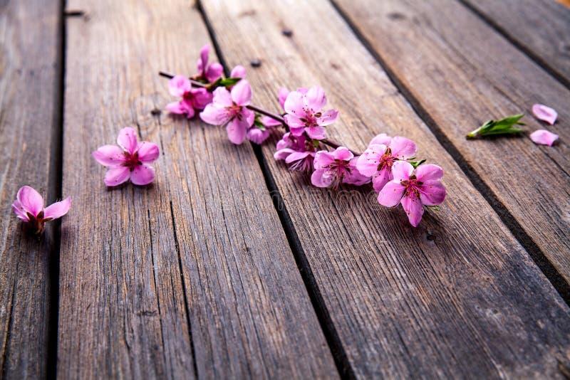 Persikablomning på gammal träbakgrund Fruktblommor royaltyfri foto