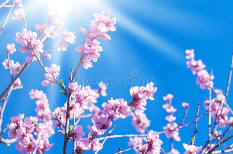Persikablomningar, solsken arkivfoton