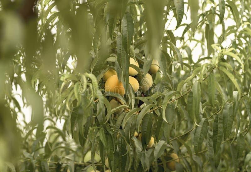 Persikafrukter bland sidorna av trädet royaltyfria foton