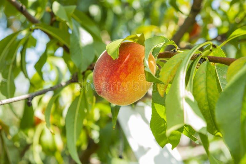 Persikafrukter på trädet i trädgården arkivfoton