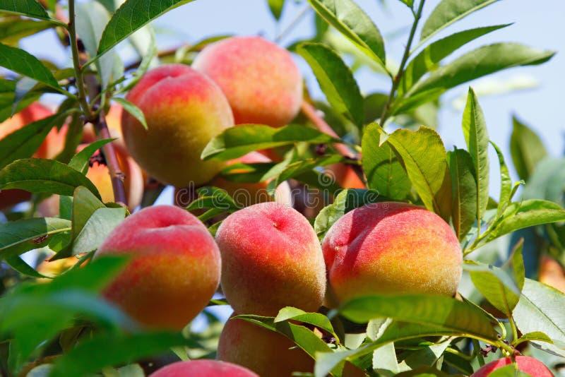 Persikan bär frukt på träd fotografering för bildbyråer