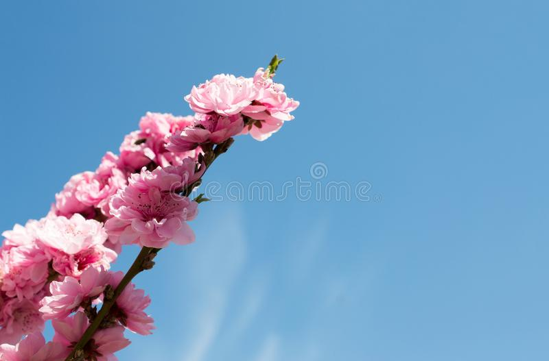 Persikan blommar på en liten delikat filial arkivbilder