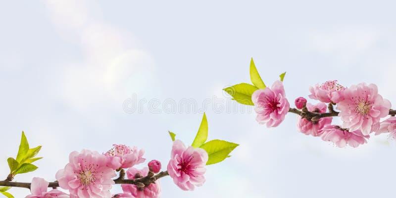 Persikan blomstrar med utrymme för dina texter arkivbild
