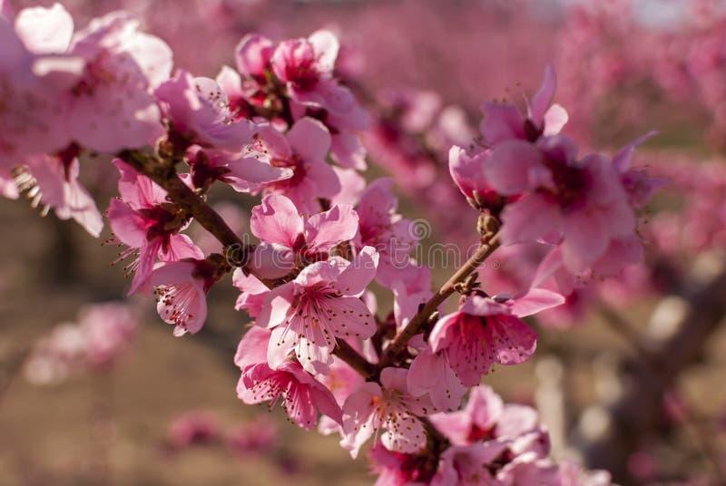 Persikaträd i blom, med rosa blommor på soluppgång Aitona Alcarras Torres de Segre lleida spain Jordbruk tät mörk blommaorchid fö arkivbild