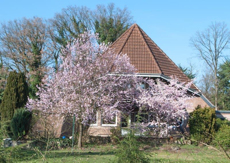 Persikaträden som blomstrar nära huset royaltyfri foto