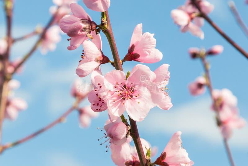 Persikaträdet blommar i blom mot blå himmel med kopieringsutrymme royaltyfri fotografi