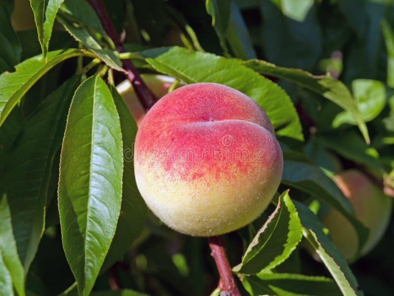 persikor som ripening sunen royaltyfria bilder