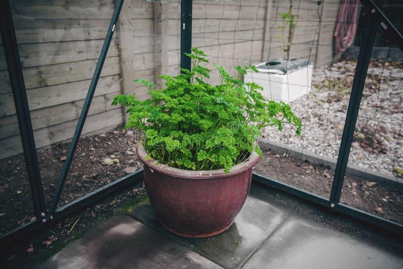 Persil dans un pot photos stock