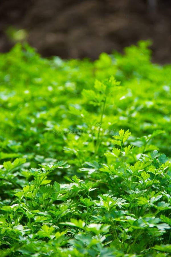 Persil organique frais dans le jardin Herbes et épices photo stock