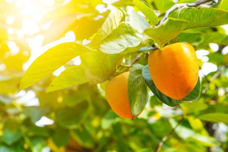Persimmon δέντρο με τα φρούτα στοκ εικόνα