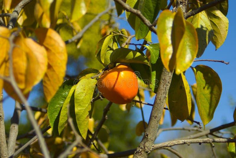 Persimmon στο δέντρο στοκ εικόνες με δικαίωμα ελεύθερης χρήσης