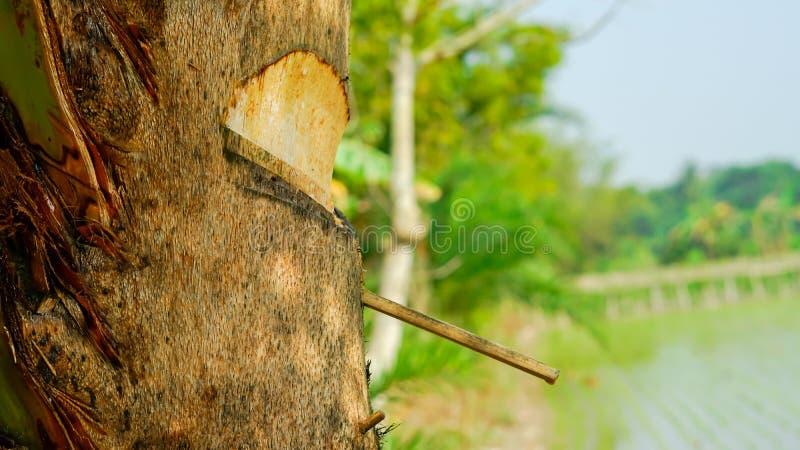 Persimmon στόμα δέντρων ` s μακρο άποψη sibe ημερομηνίας στοκ φωτογραφία με δικαίωμα ελεύθερης χρήσης