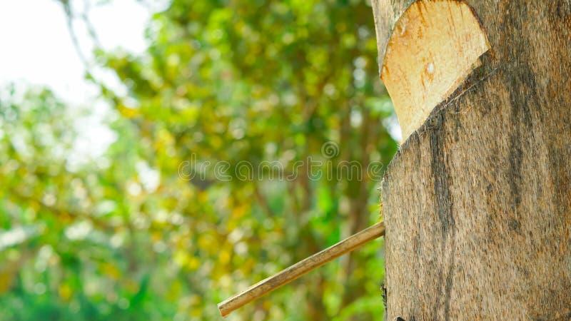 Persimmon στόμα δέντρων ` s μακρο πλάγια όψη ημερομηνίας στοκ φωτογραφίες με δικαίωμα ελεύθερης χρήσης