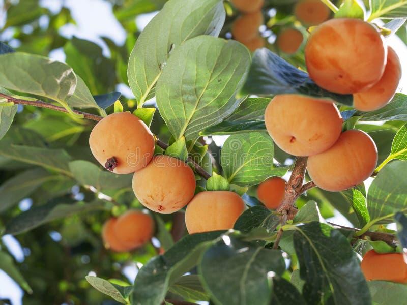 Persimmon φρούτα μεταξύ των πράσινων φύλλων στο δέντρο στοκ εικόνες