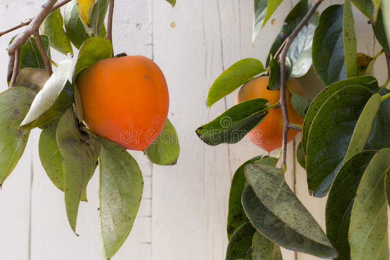 persimmon zdjęcia stock