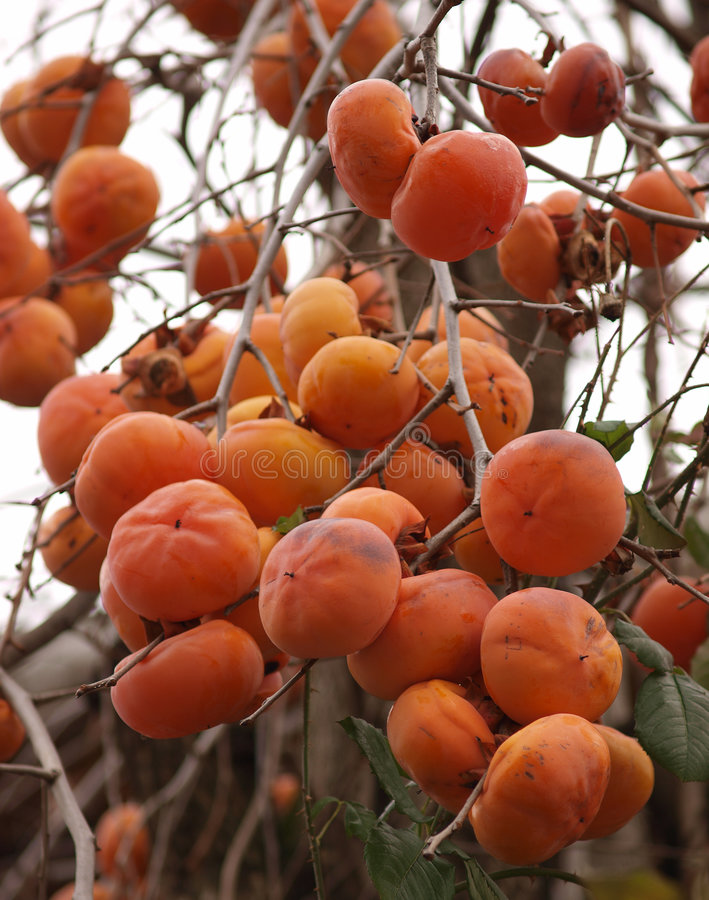 persimmon royaltyfria foton