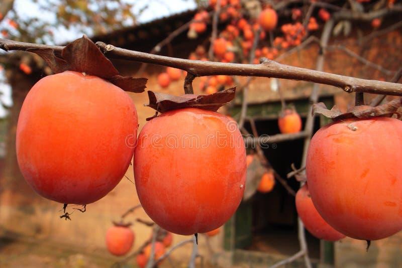 Download Persimmon stock photo. Image of reddish, fall, food, orange - 8502236