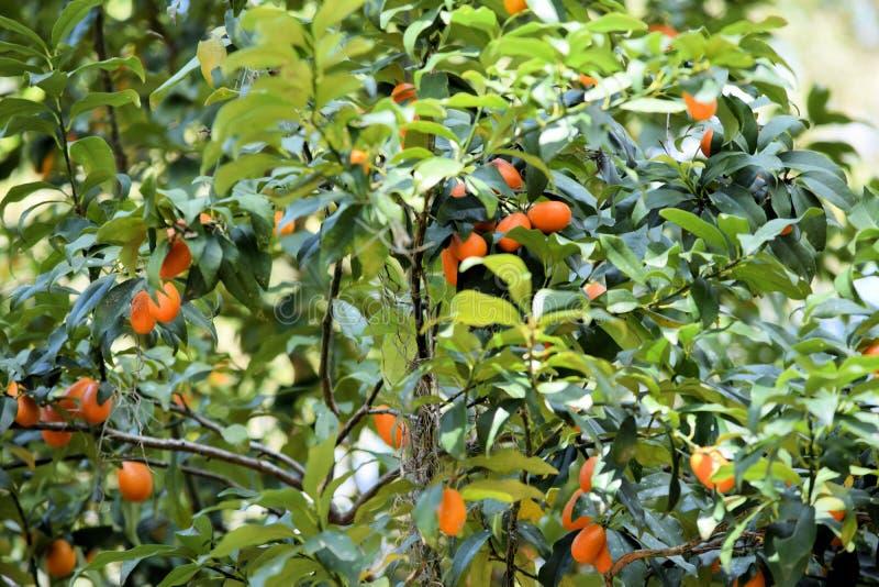 Persimmon drzewo z owoc Ebenaceae rodzina obrazy royalty free
