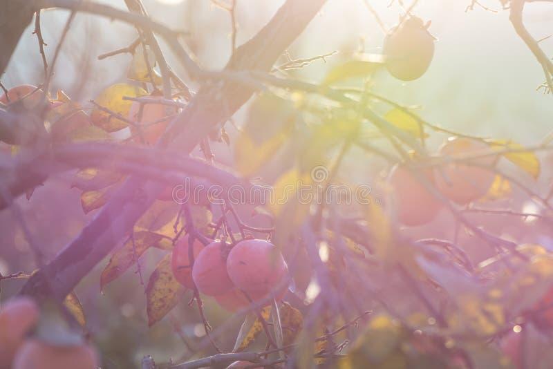 Persimmon drzewo z wiele persimmons w jesieni przy wschód słońca obraz royalty free