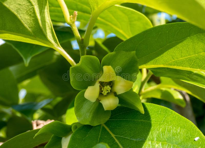 Persimmon flower on the tree , close up.  stock photo