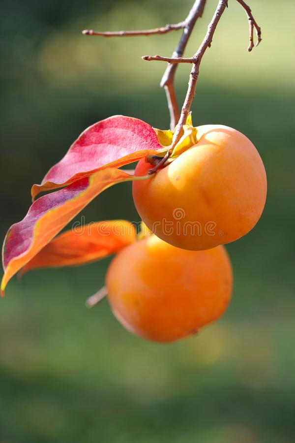 Persimmon fruit detail orange color on the tree branch royalty free stock photos