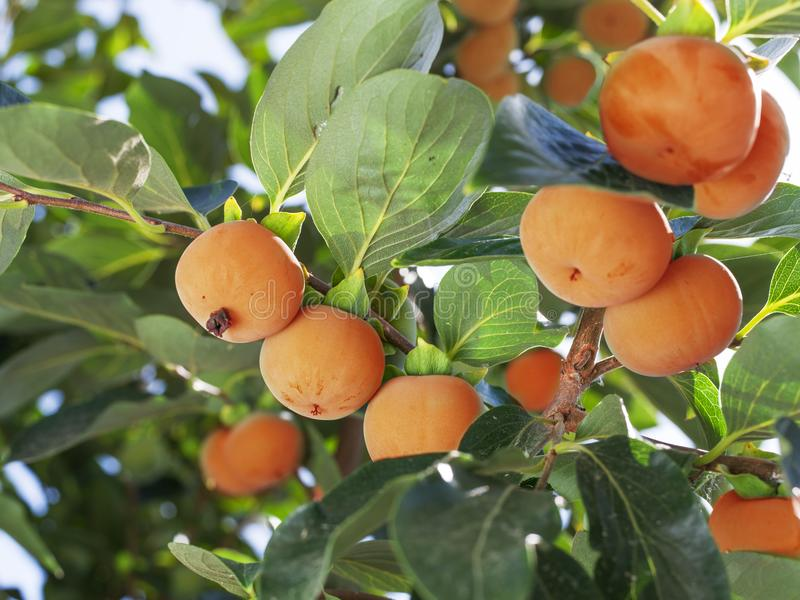 Persimmon fruits among green leaves on the tree. stock images