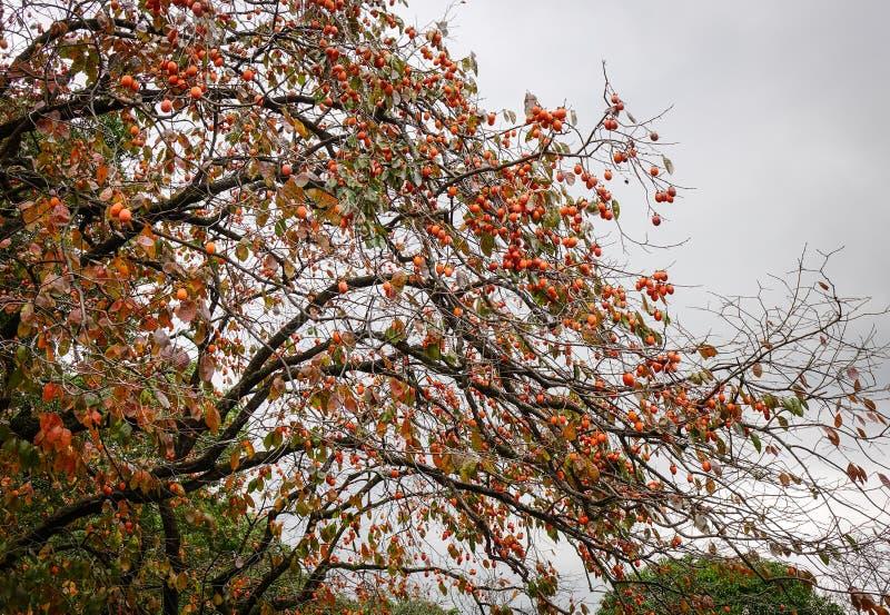 Persimmon fruits hanging on tree. At autumn in Nara Park, Japan stock photos