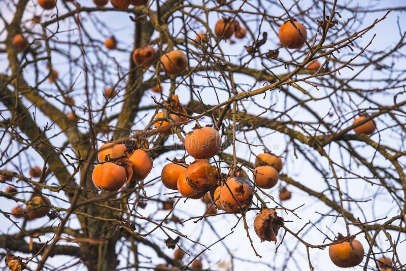 Persimmon fruits on the tree. On sunny autumn day royalty free stock photos