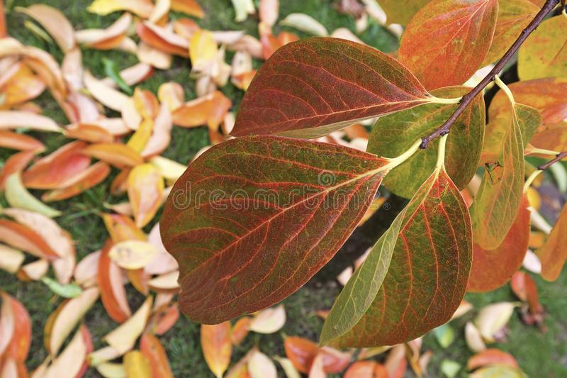 Persimmon leaves. The persimmon leaves in Autumn royalty free stock photography