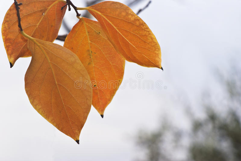Persimmon Leaves Royalty Free Stock Photo