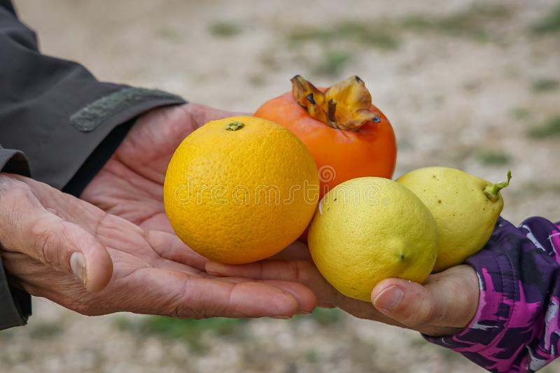 Persimmon, lemons and orange in four hands royalty free stock images