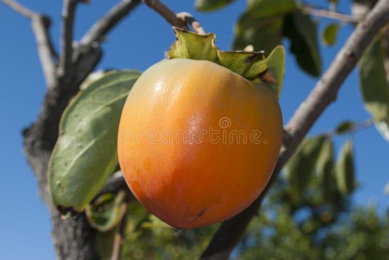 Persimmon owoc zamknięta w górę swój drzewa z niebieskim niebem na tle na zdjęcia stock