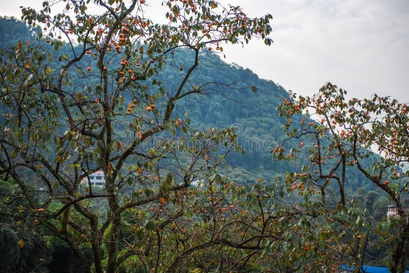 Persimmon tree in blue sky stock photos