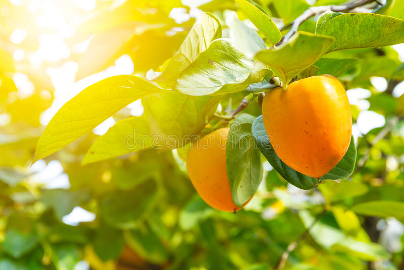Persimmon tree with fruit stock image