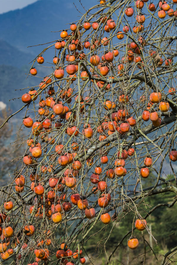Persimmon tree royalty free stock images