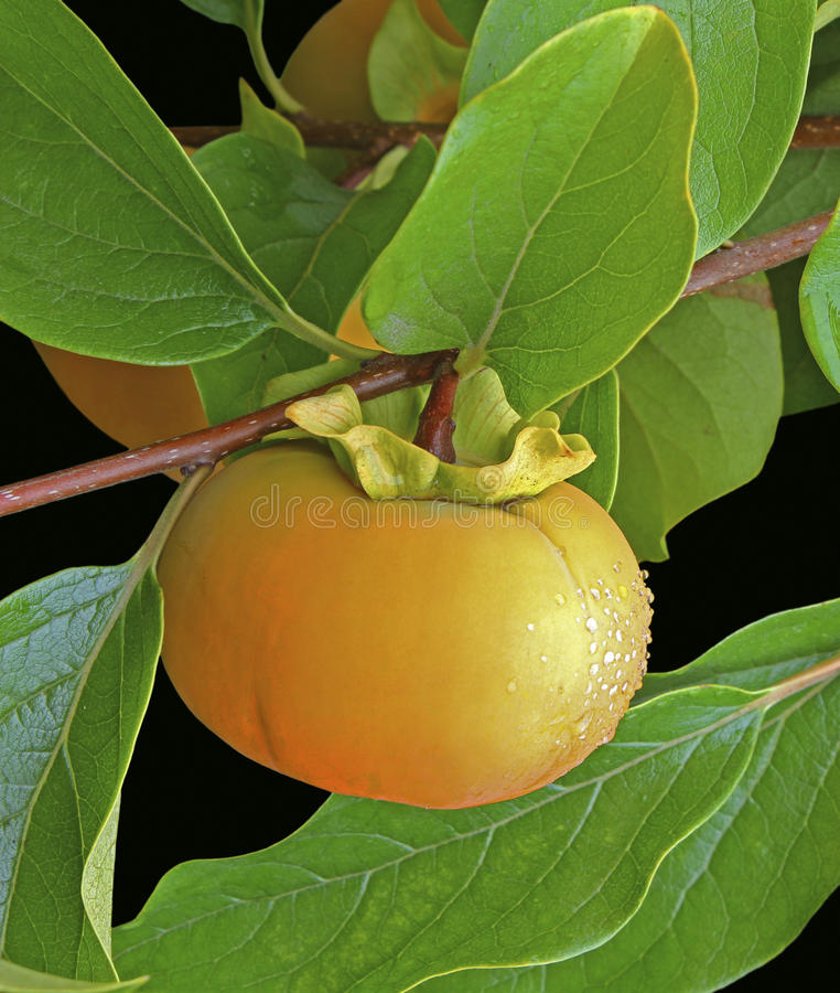 Persimmon on a Tree. Persimmon growing on a tree royalty free stock image